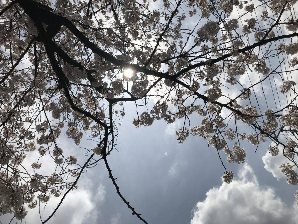 ようやく桜をゆっくりと 写真